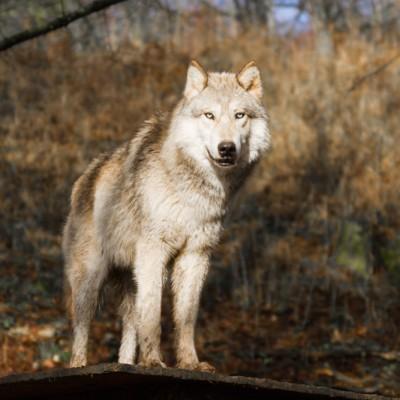 Wolf, Forschungszentrum Ernstbrunn, 2014