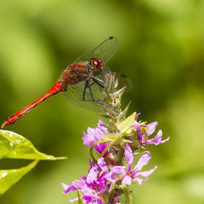 Libelle, Marchegg, Marchegger Auenreservat, 2016