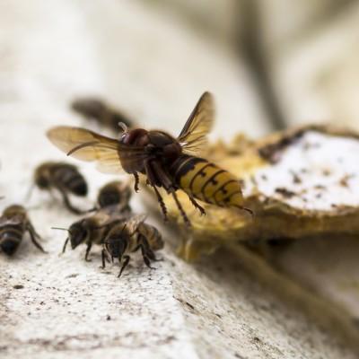 Hornisse im Anflug auf einen Bienenstock, Neuaigen/Tull a.d. Donau, 2015