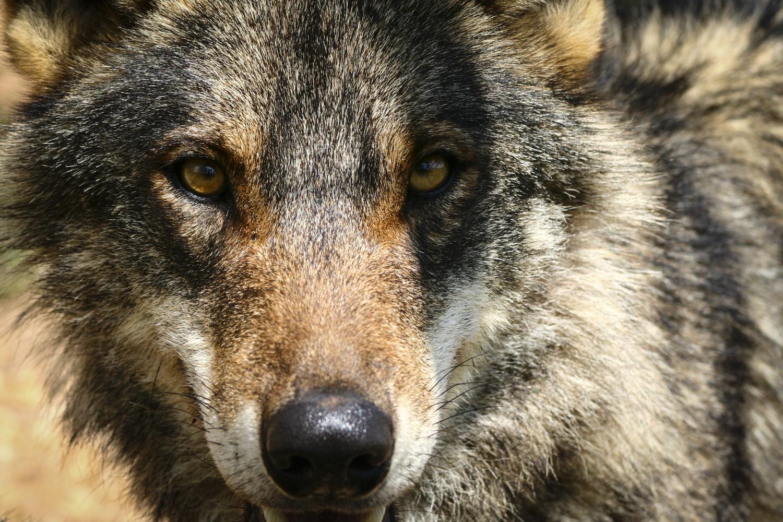Iberischer Wolf, Antequera (Malaga), Spanien, 2009