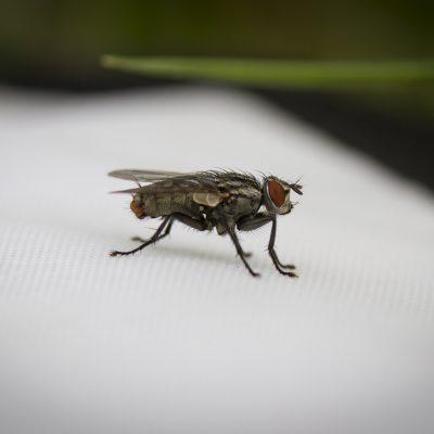 Fliege, Auenreservat Marchauen, 2016