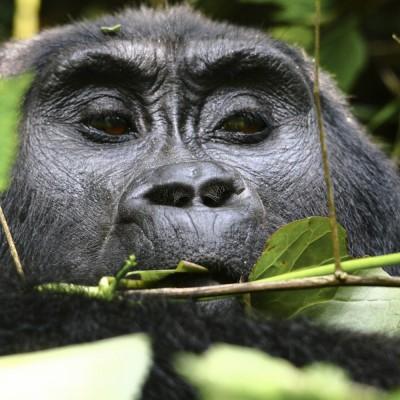 Berggorilla, Uganda, 2011