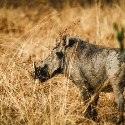 Warzenschwein, Uganda, 2011