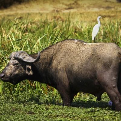 Wasserbüffel, Uganda, 2011